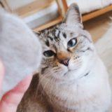 毛玉を見つめる猫。