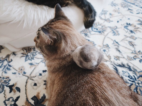 背中に毛玉ボールを乗せられた猫。