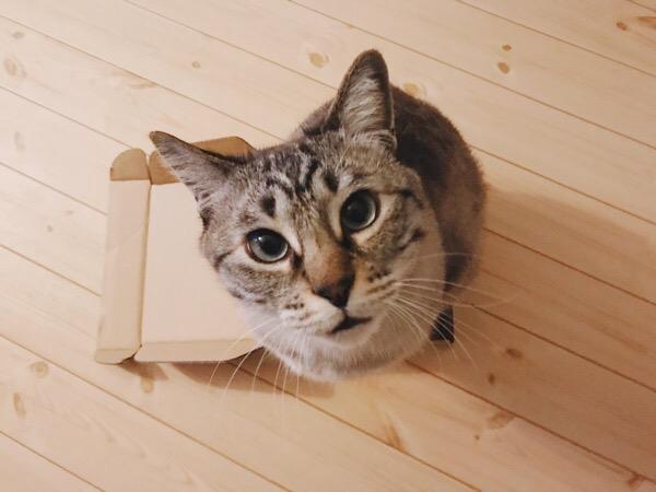 箱に入って上を見上げている猫。