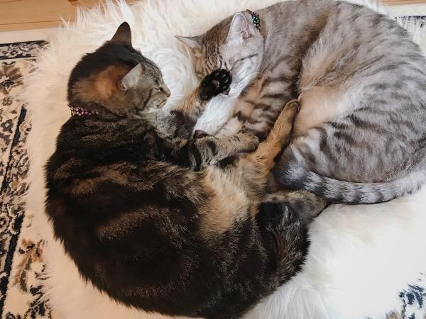 ジーナ(キジトラ猫)とテト(サバトラ猫)。