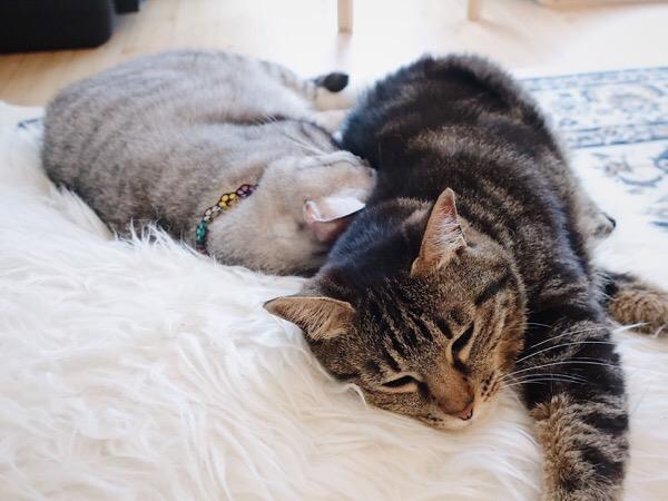 仲良く?昼寝する2匹の猫。