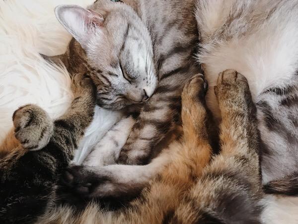 後ろ脚でテト(サバトラ猫)を押さえるジーナ(キジトラ猫)。
