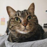 キジトラ猫ジーナ。