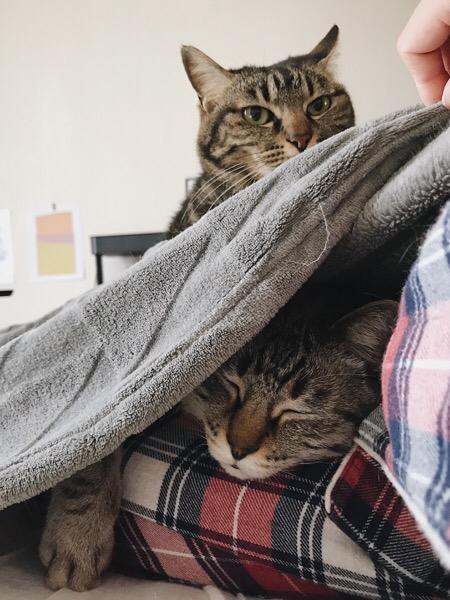 毛布の下に隠れて寝ているムク(シャムトラ猫)。