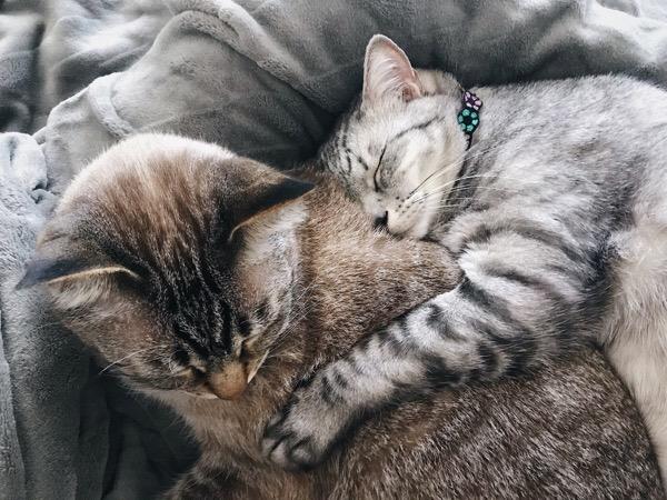ムク(シャムトラ猫)に抱きつくテト(サバトラ猫)。