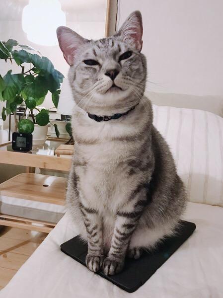 テト(サバトラ猫)。