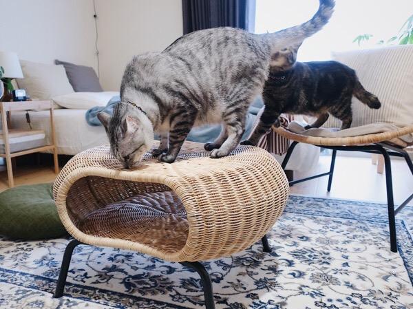 テト(サバトラ猫)のお尻のにおいを嗅いでるジーナ(キジトラ猫)。
