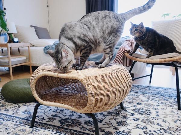テト(サバトラ猫)のお尻を見つめるジーナ(キジトラ猫)。