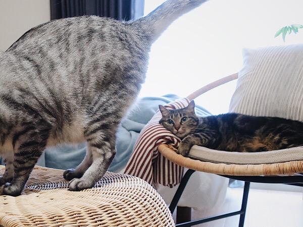 テト(サバトラ猫)のお尻が気になるジーナ(キジトラ猫)。