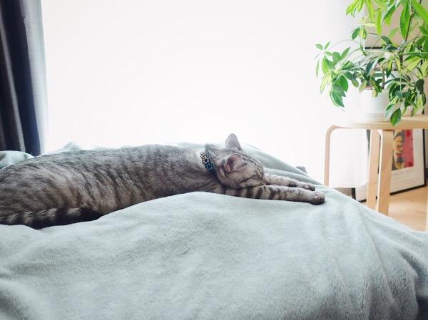 ベッドの上で伸びている猫。