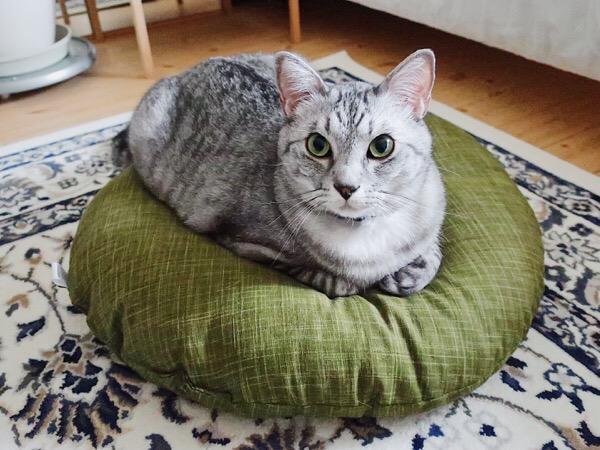 座布団の上に座っているテト(サバトラ猫)。