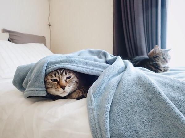 毛布に潜る猫。