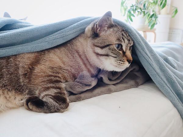 毛布の下から顔を出したムク(シャムトラ猫)。