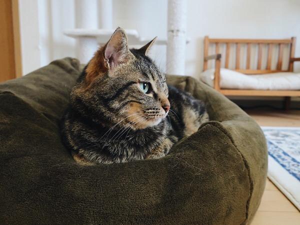 遠くを見つめるジーナ(キジトラ猫)。