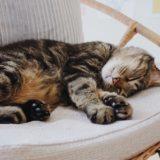 ラタンチェアの上で寝ているジーナ(キジトラ猫)。