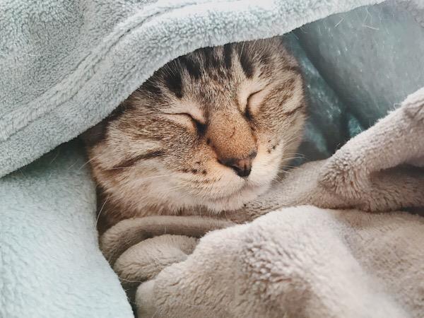毛布に包まれているムク(シャムトラ猫)。