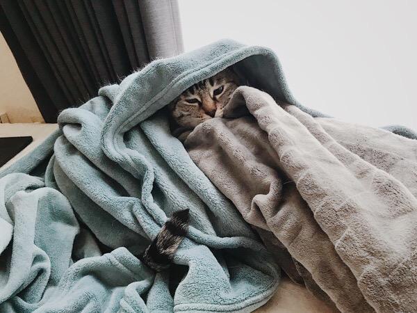 毛布にくるまっている猫。
