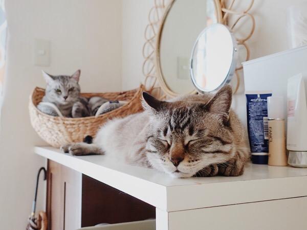 靴箱の上で伸びて寝ているムク(シャムトラ猫)。