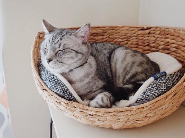 かごベッドの中で満足そうに目を閉じているテト(サバトラ猫)。