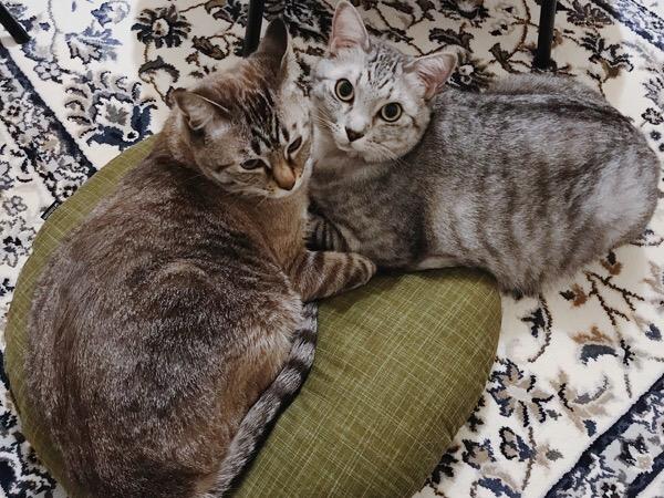 座布団の上でくっつき合う兄弟猫。