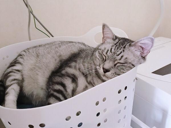 洗濯カゴの中で寝ている猫。