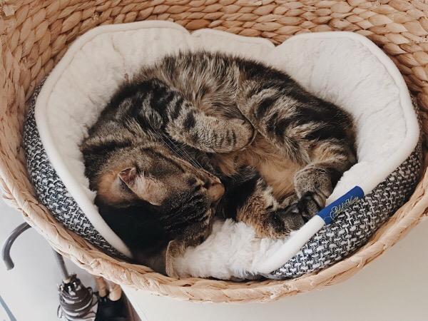 かごベッドの中で丸まって寝ているジーナ(キジトラ猫)。
