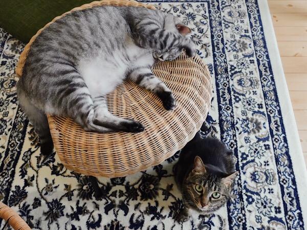 テト(サバトラ猫)とジーナ(キジトラ猫)。