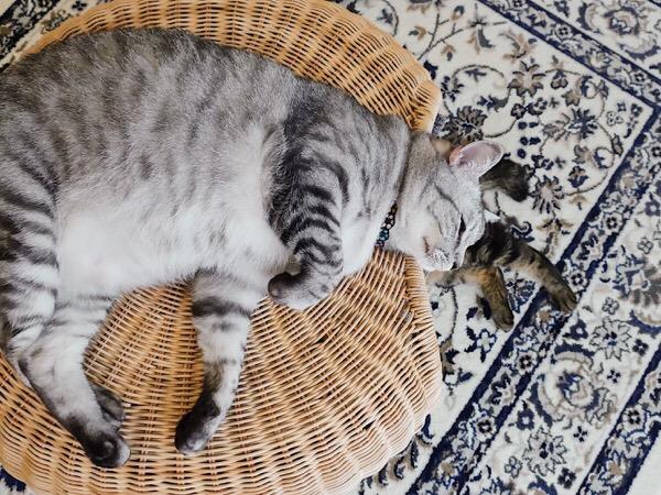 スツールの上に横たわる巨猫。