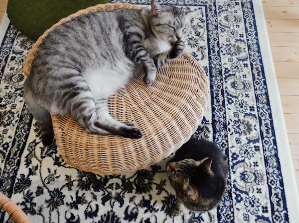 スツールの上でグルーミングしているテト(サバトラ猫)。