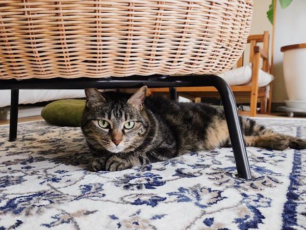 スツールの下に潜り込んでいるジーナ(キジトラ猫)。