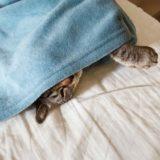 毛布から顔を半分だけ出している猫。