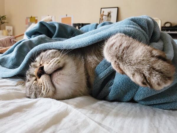 毛布にくるまって寝ているムク(シャムトラ猫)。