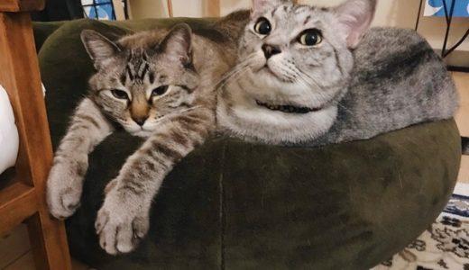 仲良くマシュマロクッションに収まってる兄弟猫。