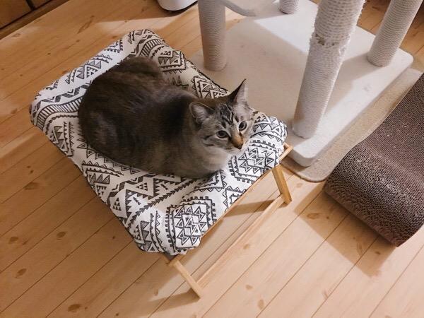 ベッドの上にいるムク(シャムトラ猫)。