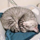洗濯カゴの中で丸くなって寝ている猫。
