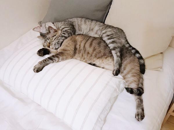 同じポーズで寝ている兄弟猫。