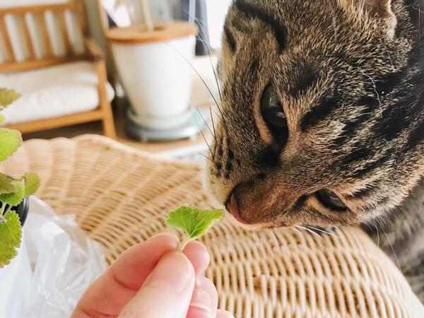 葉っぱに鼻を近づけるジーナ(キジトラ猫)。