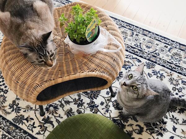 キャットニップと猫。
