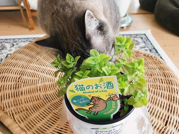 キャットニップの鉢に顔を突っ込むムク(シャムトラ猫)。