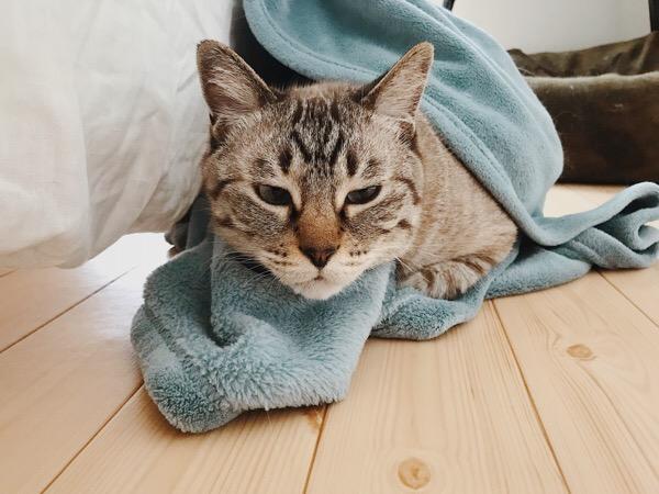 毛布にくるまる猫。