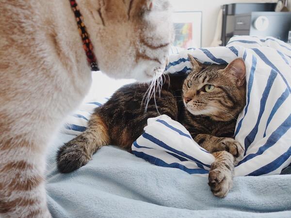 昼寝を邪魔されてメンチを切る猫。