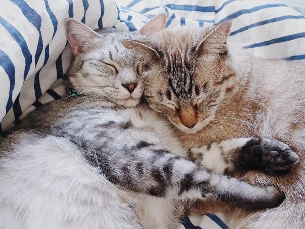 顔をくっつけて眠る猫たち。
