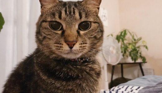キジトラ猫のジーナ。