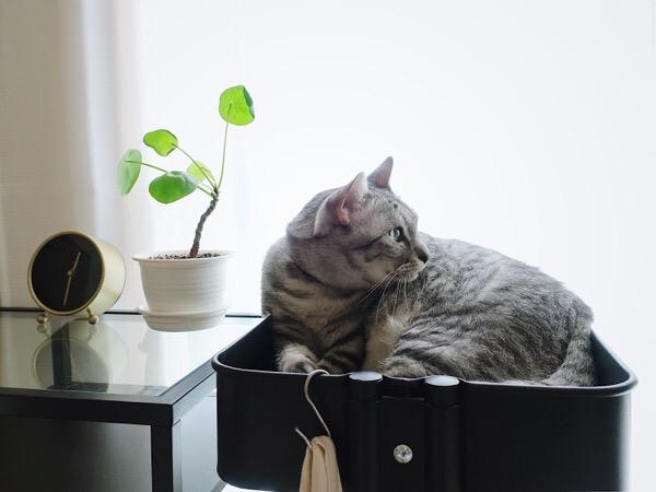 イケアのワゴンでくつろぐ猫。