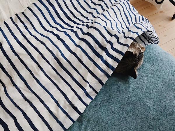 布団をかぶって寝ている猫。