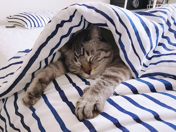 布団の中で熟睡中の猫。