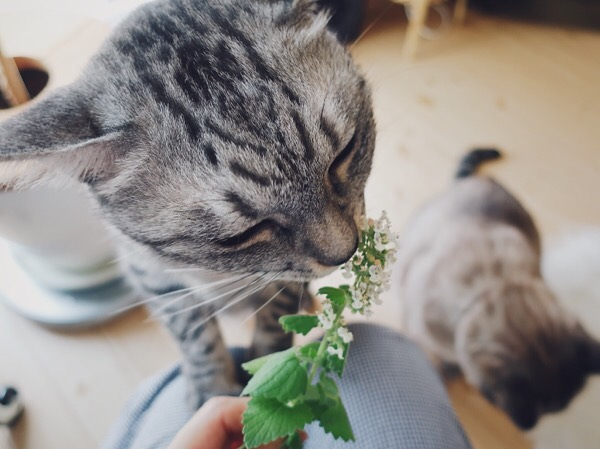 キャットニップの花のにおいを嗅ぐ猫。