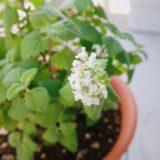 キャットニップの白い花。