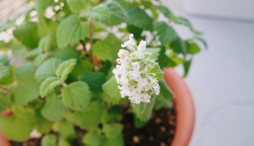 キャットニップの花が咲いたよ