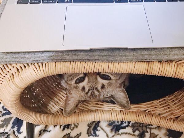パソコンの下から顔半分だけ出して見つめてくる猫。